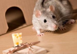 Современные методы, народные средства и житейские уловки, которые помогут избавиться от мышей в квартире и частном доме навсегда